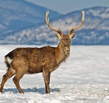 deer4_500